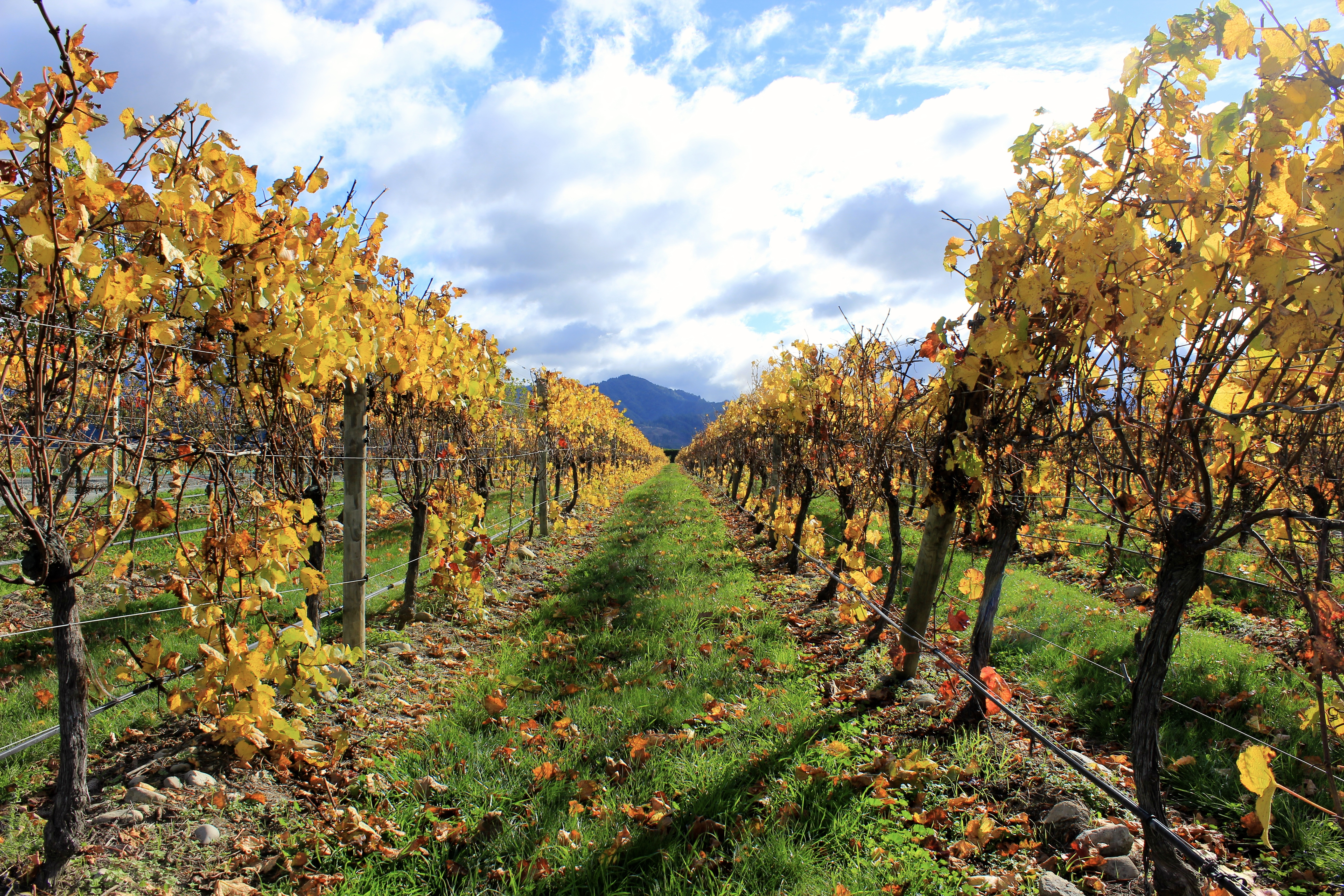 Rows of golden vineyard leaves in New Zealand